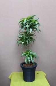 【観葉植物】ドラセナ「サプライズ」