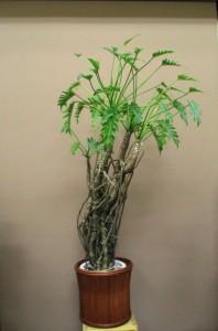 【観葉植物】大きなクッカバラ