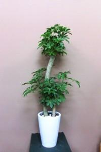 【観葉植物】開店祝いに「シェフレラ・カッポック」