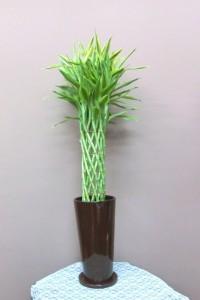 【観葉植物】幸せをよぶ幸運の竹「サンデリアーナ」