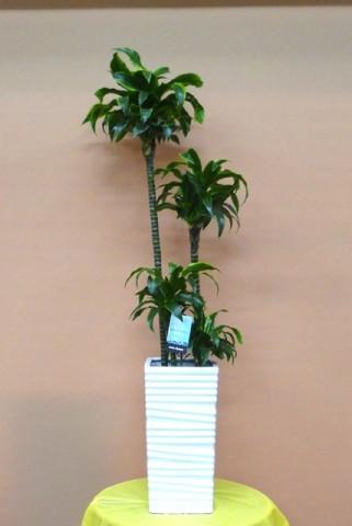 【観葉植物】貫録のある「ドラセナ・ドラド」