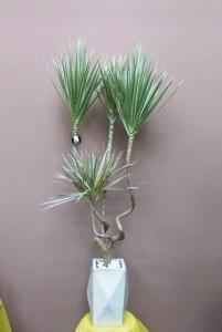 【観葉植物】ぐにゃぐにゃ曲がった3本立ちのドラセナ・コンシネ「龍」