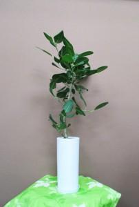 【観葉植物】ゴムの木いろいろ「アポロゴム」