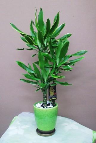 【観葉植物】コンパクトなドラセナ「ゴールドコースト」
