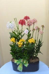 花のお歳暮 いろいろなエピデンドラム