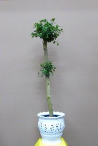 【観葉植物】透かし彫りの器と小葉のガジュマルパンダ01