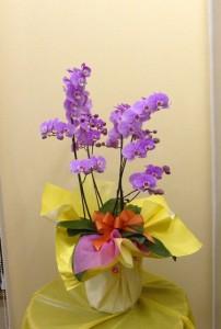 【胡蝶蘭】父の日の贈り物に桃色のコチョウラン