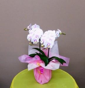 【胡蝶蘭】祝成人☆きれいなコチョウラン「サクラ」