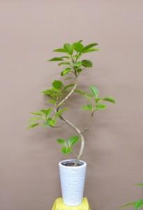 【観葉植物】父の日に観葉植物を贈ろう、ゴムの木「アルテシーマ」