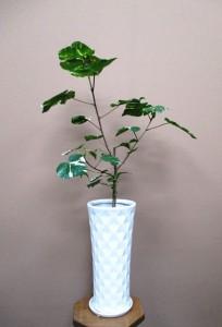 【観葉植物】斑入りハマボウ