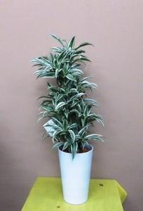 【観葉植物】「ドラセナ・ホワイトストライプ」