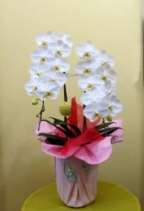 【胡蝶蘭】お母さんに贈ろう、豪華な2本立ちコチョウランを。