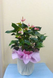 【花鉢】残暑見舞いにアンスリウム