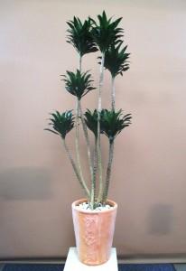 【観葉植物】おおきな「ドラセナコンパクター」