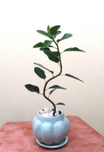 【観葉植物】小さい小さいフランスゴムの木