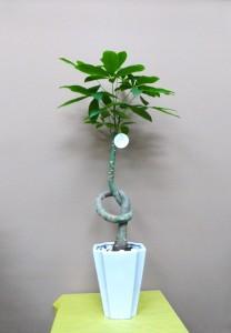 【観葉植物】記念樹「結びパキラ」01