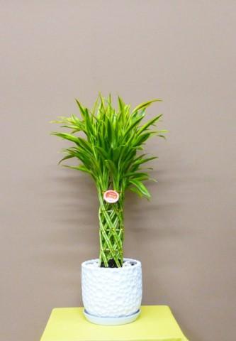 【観葉植物】落ち着いた雰囲気の和・洋兼用でモダンな器と幸福の竹
