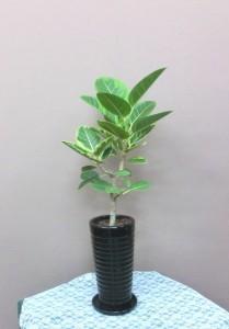 【観葉植物】指宿から来たゴムの木「アルテシーマ」