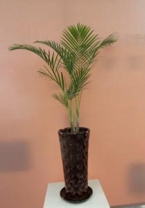 【観葉植物】鹿児島・指宿からやって来た凛々しい「矮性アレカヤシ」