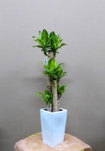 【観葉植物】父の日のプレゼントに幸福の木「マッサン」