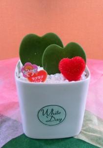 【観葉植物】ホワイトデー:チョコレートのお返しにラブラブハート