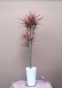 【観葉植物】スラッと伸びるコンシネレインボー