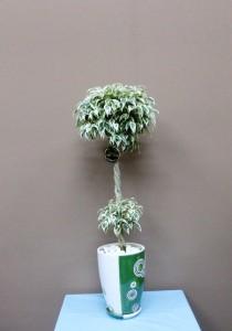 ホワイトとグリーンの葉っぱと器ベンジャミンスターライト