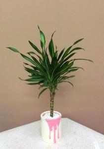 【観葉植物】父の日の贈り物 ドラセナ