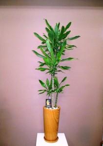 【観葉植物】木目調の器にドラセナゴールドコースト