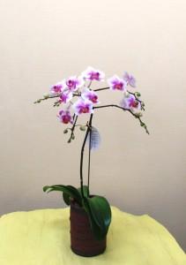【蘭鉢】ミニ胡蝶蘭「サクラコ」