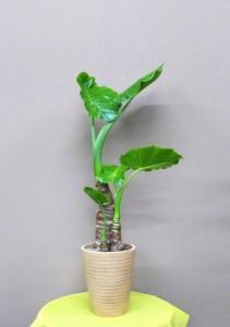 【観葉植物】ネイルサロンのオープンに葉っぱのきれいなクワズイモ