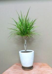 【観葉植物】ドラセナマジナータゴールド
