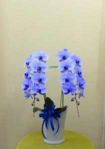 【胡蝶蘭】新しく器が変わった涼しい色あいのブルーのコチョウラン