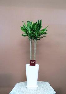 【観葉植物】ドラセナゴールドコースト