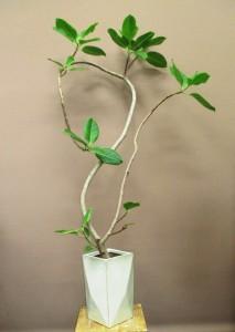 【観葉植物】91の形に見える!?ゴムの木