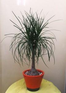 【観葉植物】コンパクトな「ポニーテール」