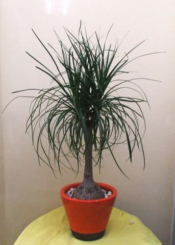 【観葉植物】コンパクトなポニーテール