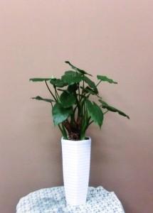 【観葉植物】お家に飾れるプレゼント「クワズイモ」