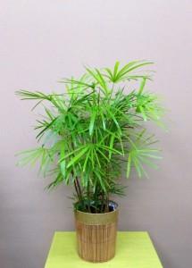 【観葉植物】雲南棕櫚竹(ウンナンシュロチク)~和風の食堂のオープンに