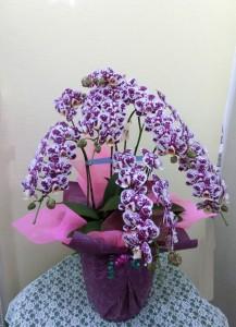 【胡蝶蘭】紫色のミディ胡蝶蘭「ブラックダイヤモンド」01