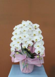 周年記念のお祝いに大輪のコチョウラン
