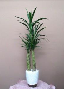 【観葉植物】仲よく寄り添うアオドラ