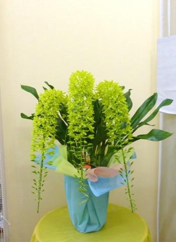 【洋ラン】グリーンのきれいな夏の贈り物「グラマトフィラム」