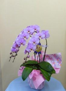 祝成人式【ピンクの中輪コチョウラン】