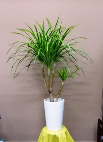 【観葉植物】美容室のオープンにキレイな葉っぱのカンボジアーナ