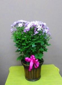 【花鉢】お祝いに花粉少なく寒さに強い「桂華(けいか)」