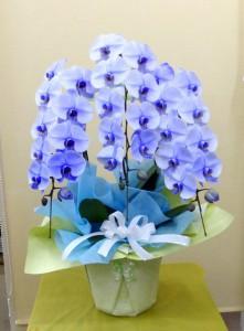 【胡蝶蘭】初盆のお供えにブルーのコチョウラン