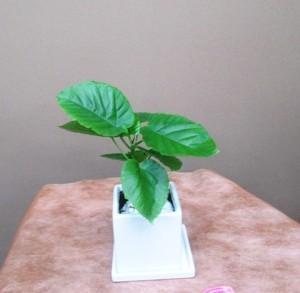 【観葉植物】幸せのミニ観葉植物「ハートリーフ」