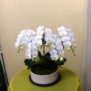 【胡蝶蘭】就職祝いに変わった器のミニコチョウラン「アマビリス」