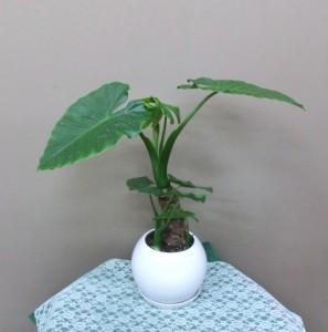 【観葉植物】指宿産のかわいいクワズイモ